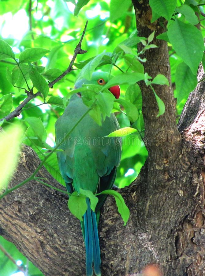 Wzrastał upierścienionego parakeet chuje w drzewie zdjęcie royalty free