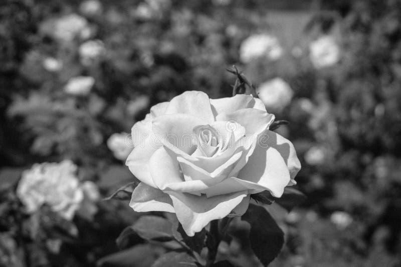 Wzrastał w czarny i biały obrazy stock
