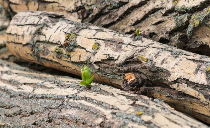 Wzrostowa potomstwo ucieczka od powala? drzewa obrazy royalty free