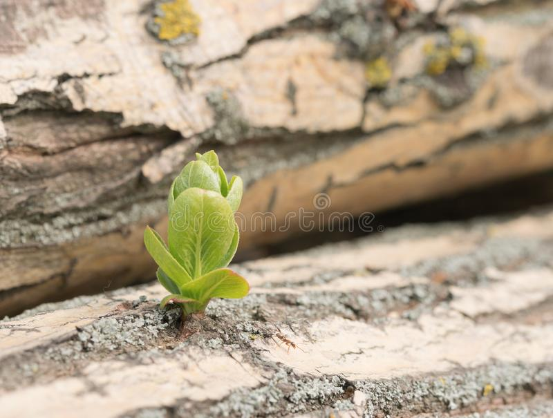 Wzrostowa potomstwo ucieczka od powala? drzewa obraz stock