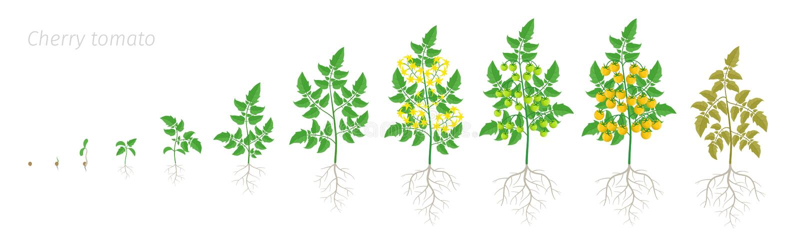 Wzrostowe sceny żółta pomidorowa czereśniowa roślina Dojrzenie okres Szklarni etap życia mały pomidoru krzaka żniwo royalty ilustracja