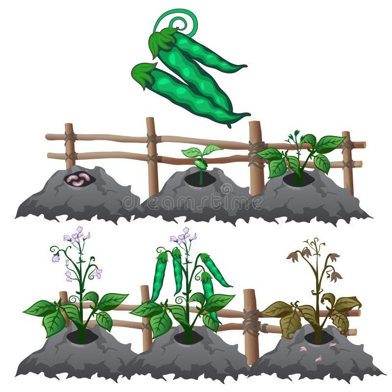 Wzrostowe sceny grochy, rolnictwo, wektor royalty ilustracja