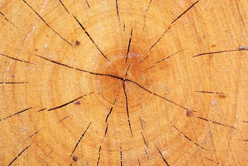wzrostowego pierścionku drewno zdjęcie royalty free