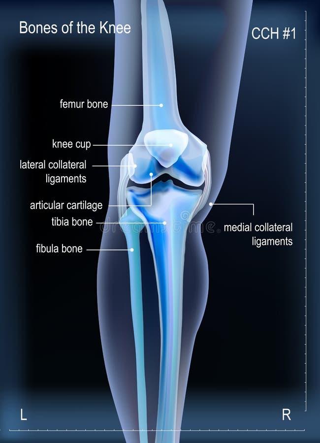 X光芒骨头膝盖 库存例证