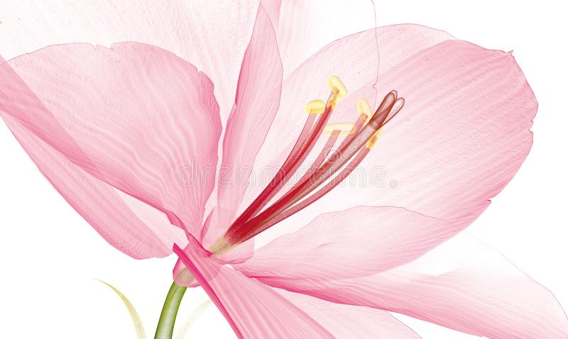 X射线辐射在白色隔绝的花, Ameryllis 3d不适的图象 免版税图库摄影