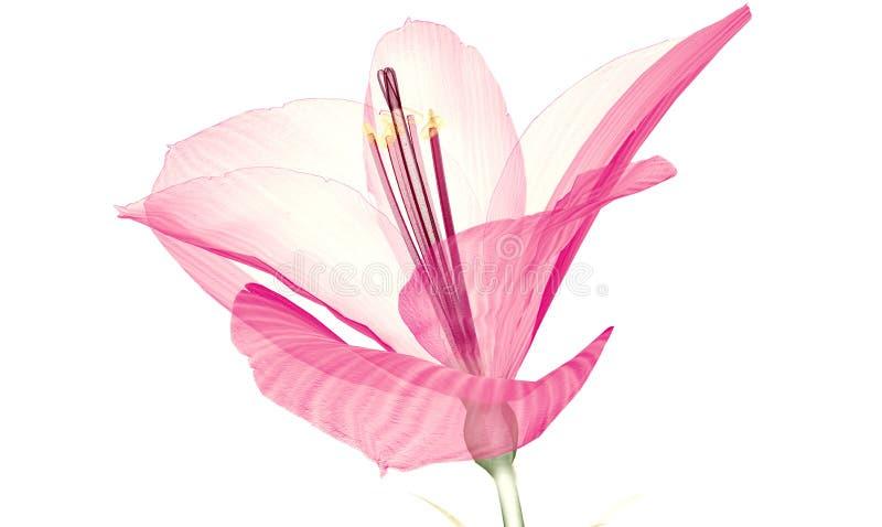 X射线辐射在白色隔绝的花, Ameryllis 3d不适的图象 皇族释放例证