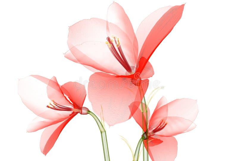 X射线辐射在白色隔绝的花, Ameryllis 3d不适的图象 向量例证