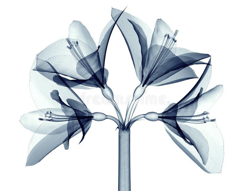 X射线辐射在白色隔绝的花,孤挺花的图象 皇族释放例证