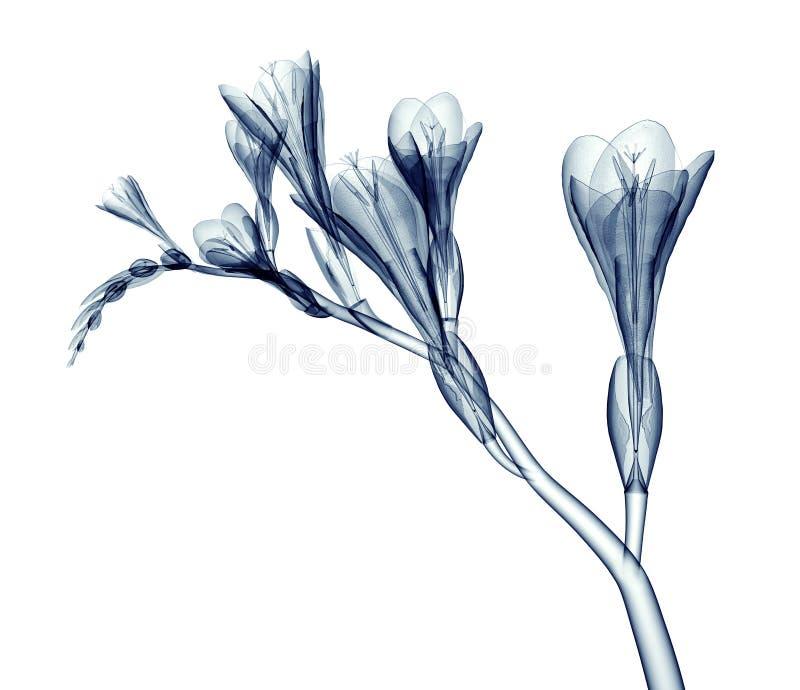 X射线辐射在白色隔绝的花,小苍兰的图象 向量例证