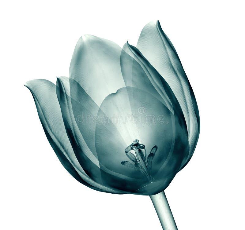X射线辐射在白色隔绝的花,郁金香的图象 库存例证