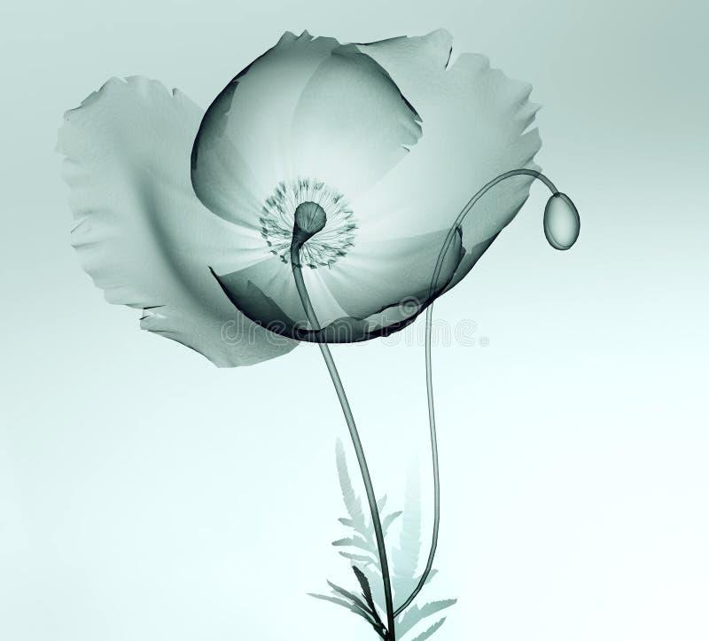 X射线辐射在白色隔绝的花,鸦片的图象 免版税库存照片
