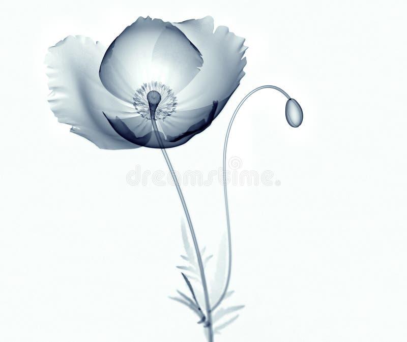 X射线辐射在白色隔绝的花,鸦片罂粟属的图象 向量例证