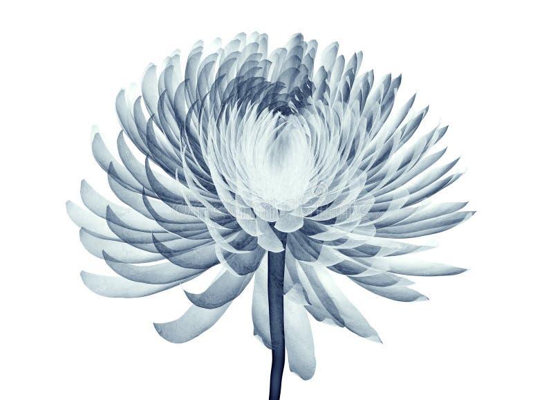 X射线辐射在白色隔绝的花,绒球Chrysanth的图象 向量例证