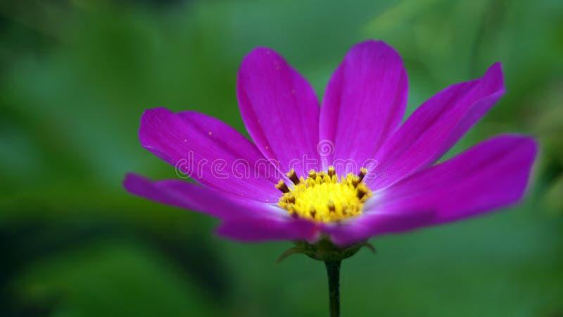 & x22; 庭院cosmos& x22; 美丽的紫色花吸引鸟和蝴蝶 免版税库存照片