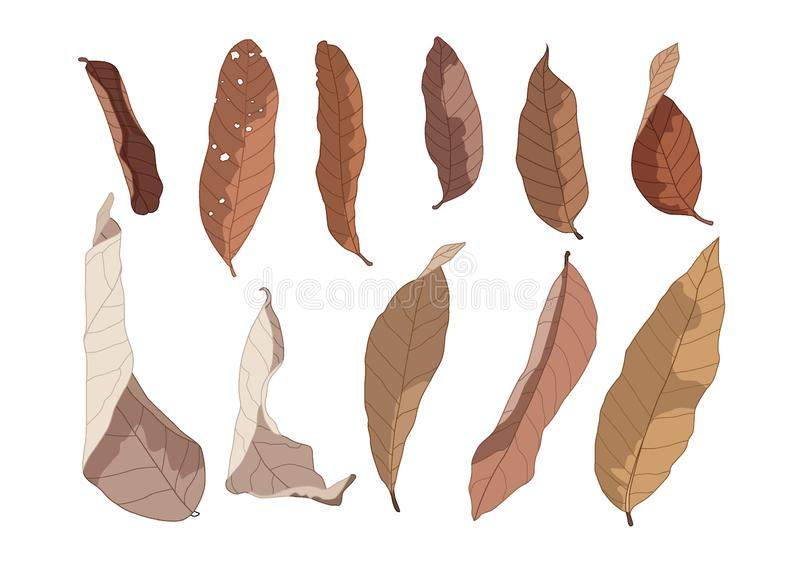 Colour Brown Dry leaf paint on white background. Illustration vector Brown dry leaves summer Autumn vector illustration