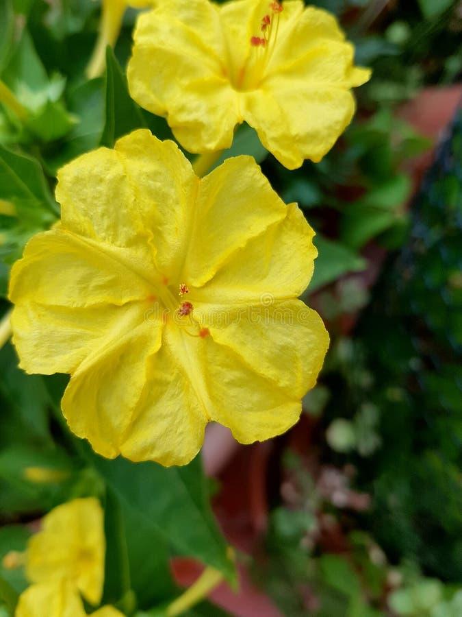 & x22; Bella di Notte & x22; flores amarelas fotos de stock royalty free