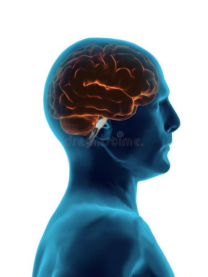 X cérebro da raia ilustração do vetor