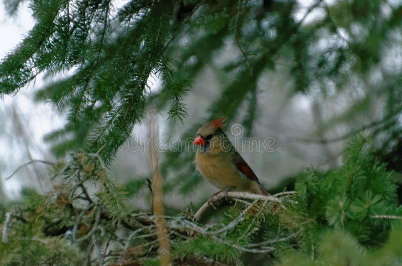 ( cardinal septentrional; Cardinalis cardinalis) Hembra fotografía de archivo