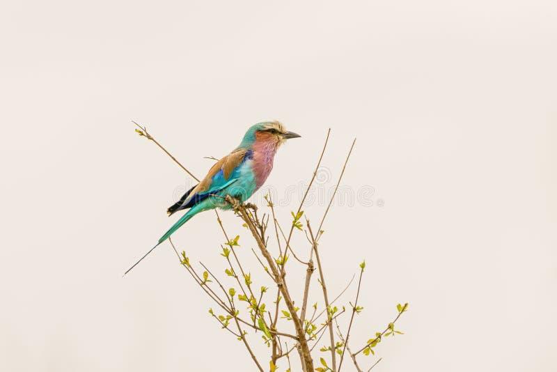 (Coracias caudatus)栖息在南非的小灌木顶端 库存照片