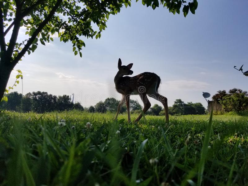 & x22;Honie-Bunnie& x22;. Fawn exploring man world just outside her own stock photography