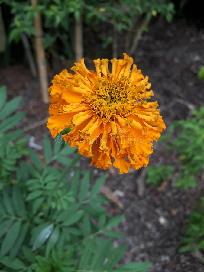 & x22; Marigold & x22; yellow flower royalty free stock photography