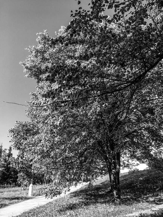 & x28; nessun vignette& x29; Foglie dell'albero di estate fotografia stock libera da diritti