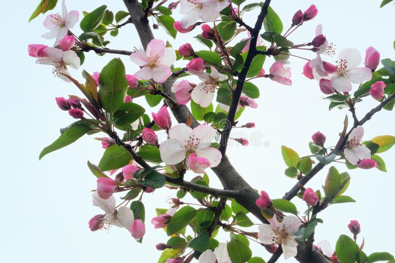 `Crabidashery` Crab Apple Blossoms in Spring stock image