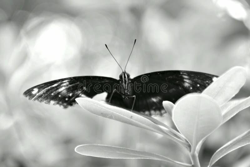 Queen Triggerfish Teeth Queen Butterfly, Upsid...