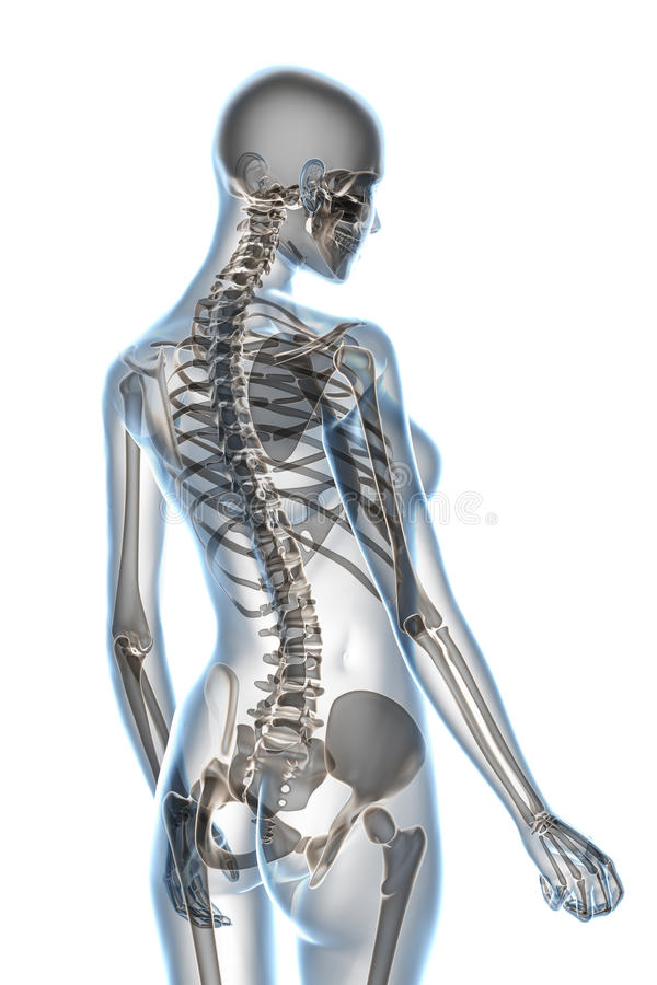 X-ray Anatomy on White. X-ray female anatomy over a white background vector illustration