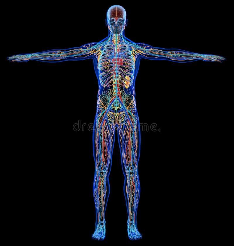 X-ray cardiovasculaire, zenuwachtige, limphatic en skeletachtige systemen van het mensendiagram royalty-vrije illustratie