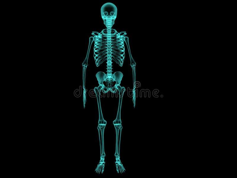 x-ray human bones . №1 stock illustration - image: 40929841, Skeleton