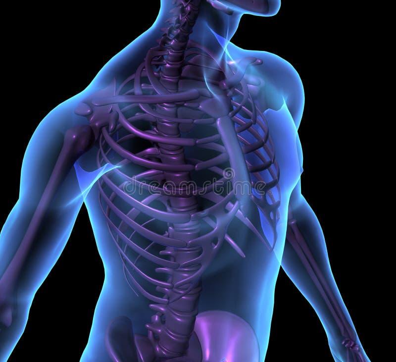 X-ray illustration male human body and skeleton stock illustration