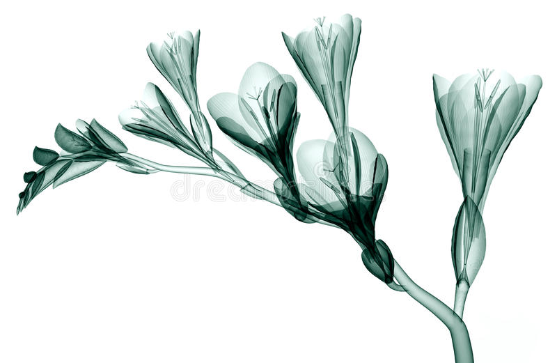X-ray image of a flower isolated on white , Bell Agapanthus stock illustration
