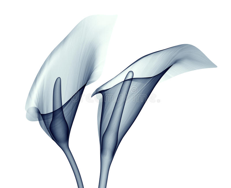 X-ray image of a flower isolated on white , the calla lilly vector illustration
