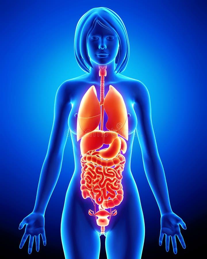 X-ray Of Internal Organs Of Female Body Stock Illustration ...