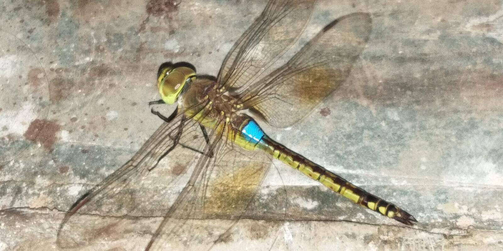 Blue tail dragon fly royalty free stock photos