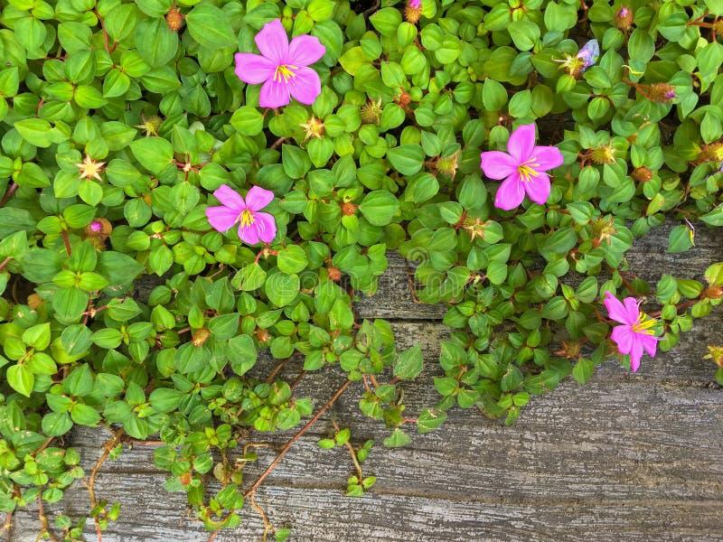 Xaile espanhol, igualmente chamado anão de arrasto Tibouchina, no plutônio cor-de-rosa foto de stock royalty free