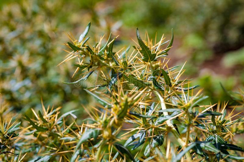 Xanthium spinosum yellow. Xanthium spinosum L. medicinal plant with sharp yellow needles. Natural drug from dysentery adenoma pokee larynx. anti-inflammatory royalty free stock images