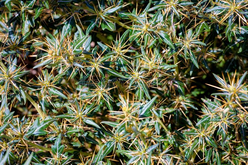 Xanthium spinosum yellow. Xanthium spinosum L. medicinal plant with sharp yellow needles. Natural drug from dysentery adenoma pokee larynx. anti-inflammatory royalty free stock photos