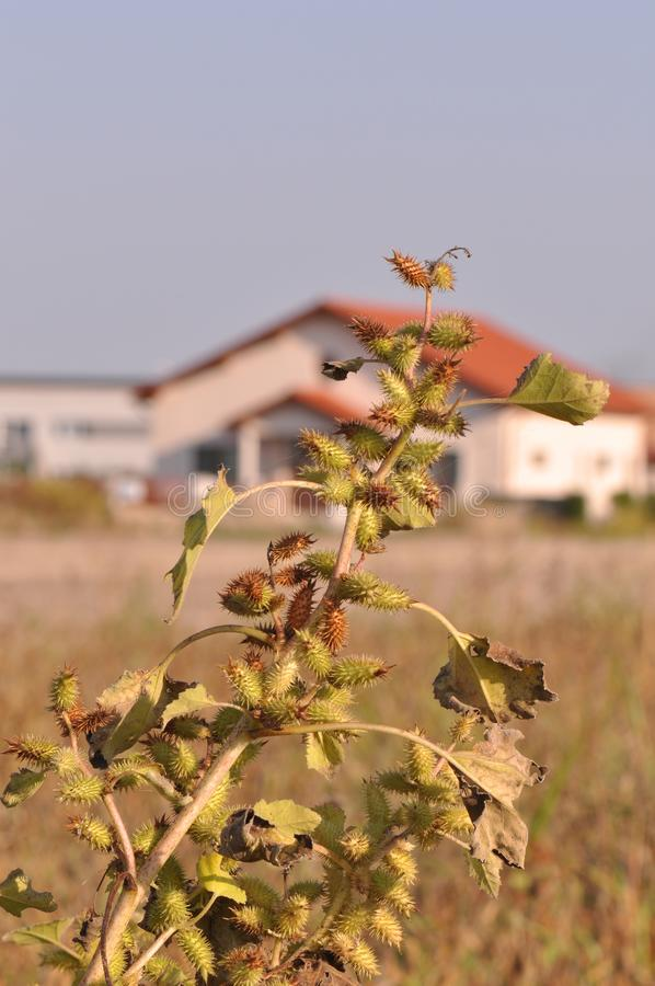 Xanthium spinosum. Detail with blue sky and house on the background stock images