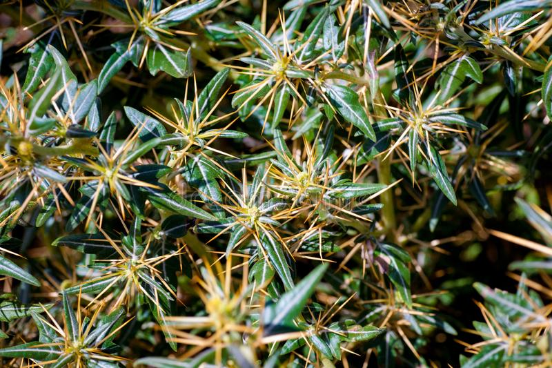 Xanthium spinosum yellow. Xanthium spinosum L. medicinal plant with sharp yellow needles. Natural drug from dysentery adenoma pokee larynx. anti-inflammatory stock photos