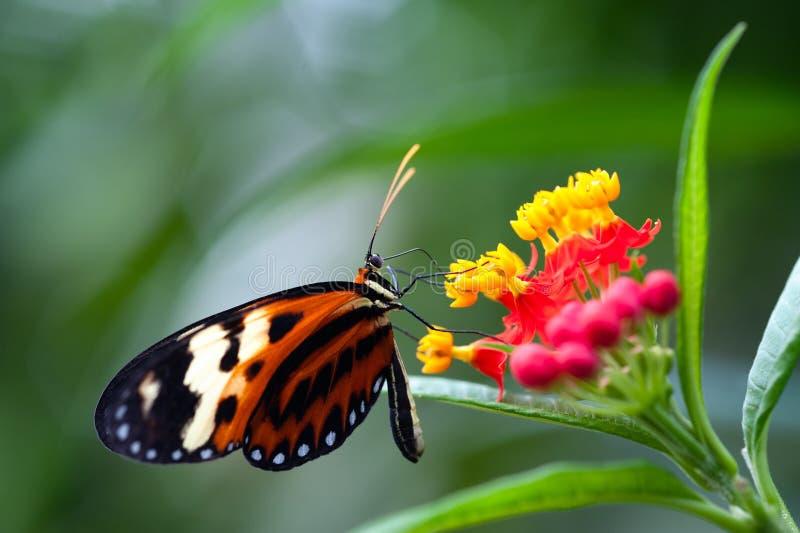 Xanthocles de Heliconius que longwing a borboleta foto de stock royalty free