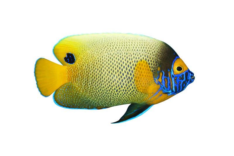 Xanthometopon tropicale del Pomacanthus dei pesci fotografia stock