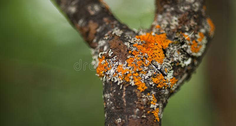 Xanthoria Lichen. Xanthoria and other lichen are portrayed in this image. the orange colored lichen belongs to Xanthoria elegans royalty free stock photo