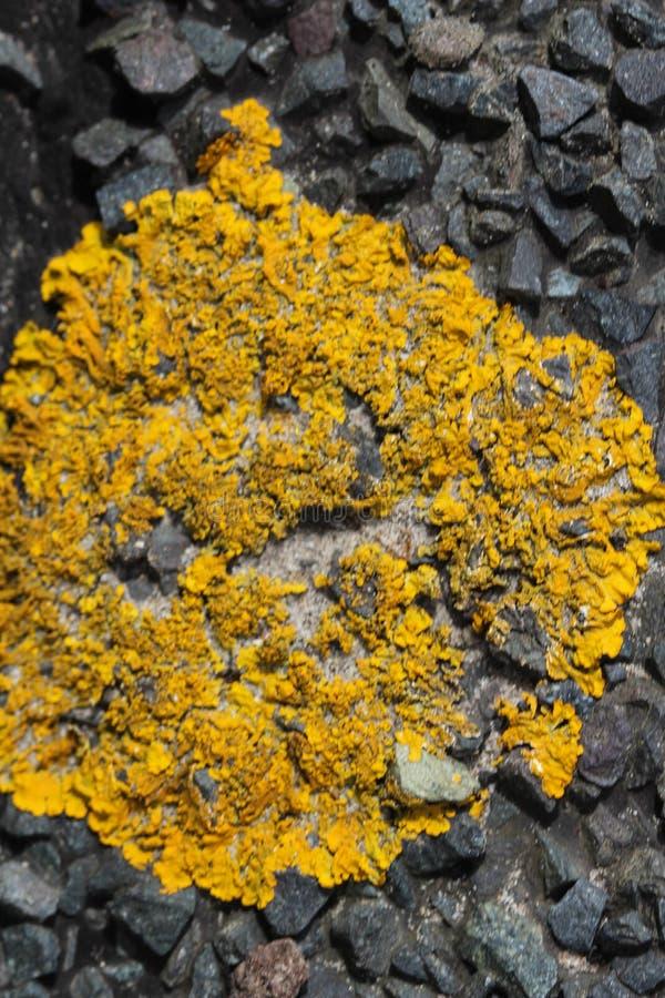Xanthoria parietina lichen growing on a path, common names are common orange lichen, yellow scale, maritime sunburst lichen and stock images