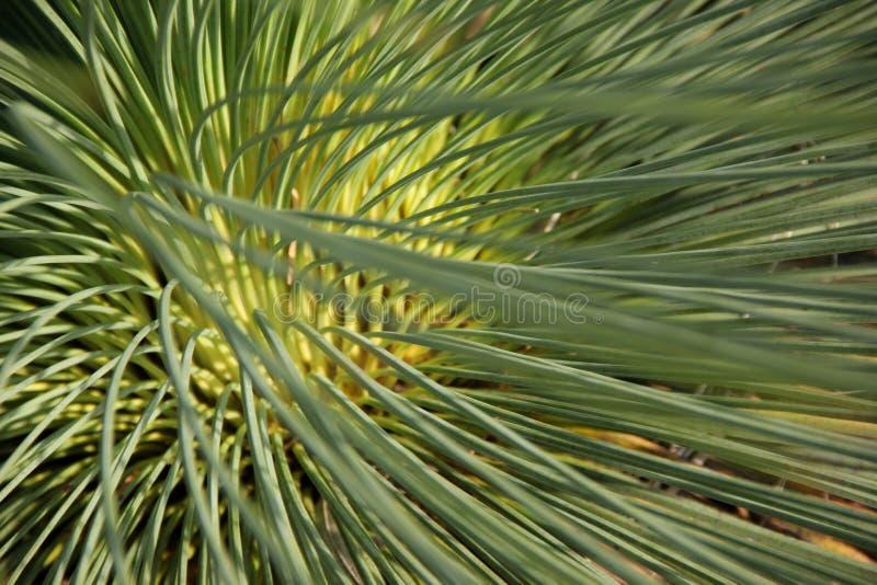 Xanthorrhoea johnsonii stock image