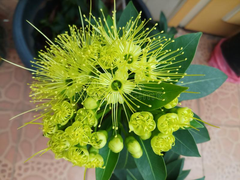Xanthostemon flower blooming stock photo