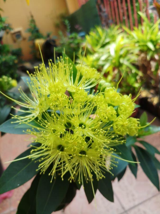 Xanthostemonbloem het bloeien royalty-vrije stock afbeelding