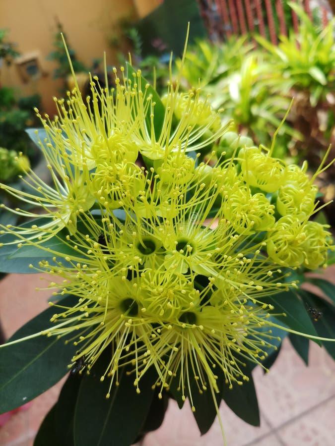 Xanthostemonbloem het bloeien stock afbeelding