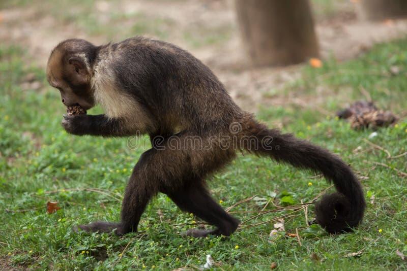 xanthosternos Dourado-inchados de Sapajus do capuchin imagens de stock
